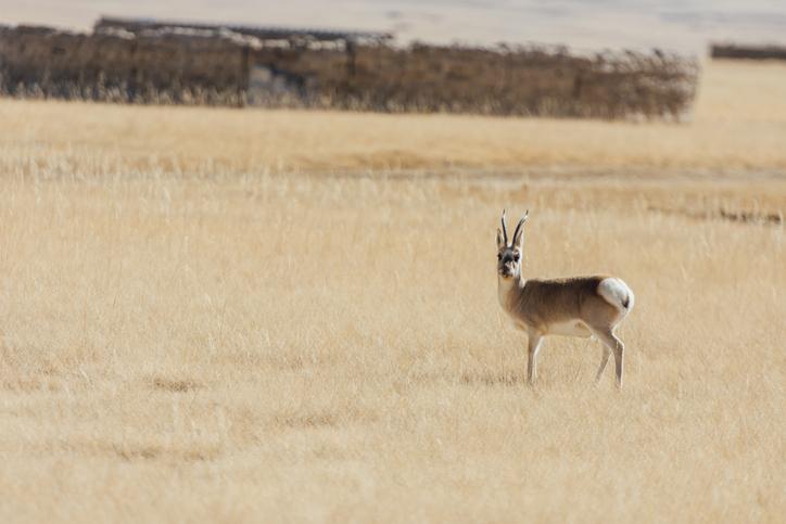 Pantholops-hodgsonii-antilope