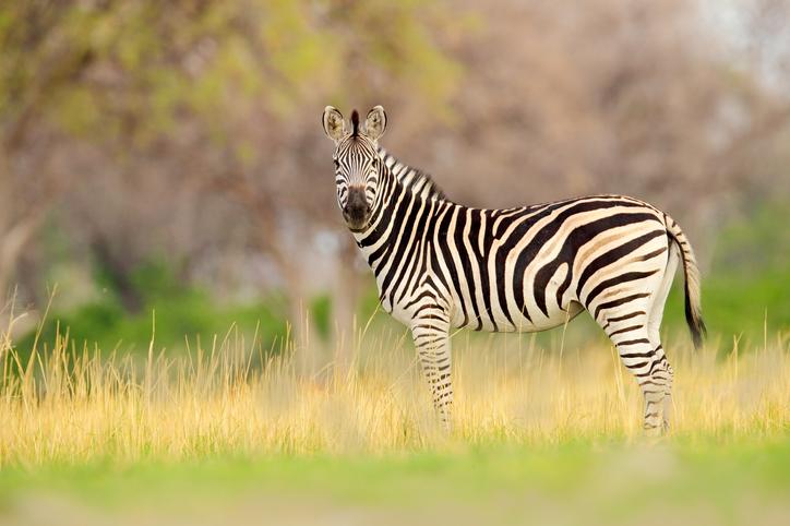 Equus-burchellii-zebra