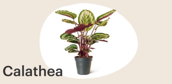 Calathea-kamerplant